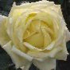 白いバラさん